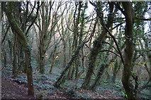 SX9266 : Woodland by South West Coast Path by N Chadwick