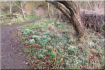 SP9314 : Snowdrops in the Wildlife Garden at College Lake by Chris Reynolds