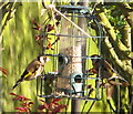 TQ2081 : Goldfinches on pigeon-proof bird feeder by David Hawgood