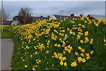 SY0081 : Daffodils opposite Exmouth railway station by David Martin