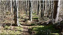 NH6454 : Footpath in Tullich Wood by Julian Paren