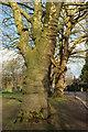 ST5775 : Trees, Redland Green by Derek Harper