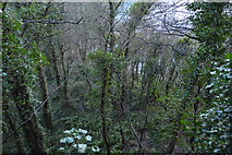 SX9364 : Woodlands above Anstey's Cove by N Chadwick