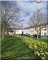 TL4656 : Fanshawe Road daffodils : Week 14