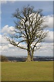 SO9875 : Tree on Beacon Hill by Philip Halling