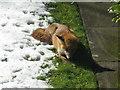 NT2470 : Fox dozing in the sun by M J Richardson