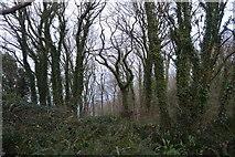 SX9057 : Coastal woodland by N Chadwick