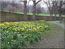 SE2536 : Daffodils at Kirkstall Abbey (2) by Stephen Craven