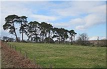 NJ8118 : Scots Pines by Anne Burgess