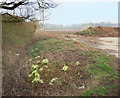 TM4295 : Primroses in the Ditch by Des Blenkinsopp