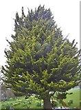 TQ1988 : Conifer in Roe Green Park, Kingsbury by David Howard