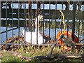 TL2097 : Swan's nest behind The Woolpack, Stanground by Paul Bryan