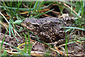 NT6824 : A common toad at Crailing : Week 16
