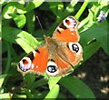 TG2108 : Peacock Butterfly (Inachis io) : Week 16