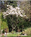 TG2108 : Flowering magnolia tree in the gardens of remembrance by Evelyn Simak