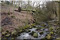 SD7815 : Toppled tree by Holcombe Brook by Bill Boaden