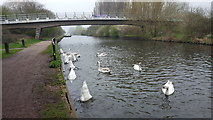TL3700 : Swans on the River Lee Navigation by Christine Matthews