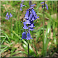TQ6995 : Bluebell in Norsey Wood, Billericay by Roger Jones