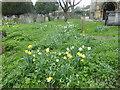 TQ2177 : Daffodils in Chiswick Churchyard by Marathon