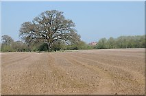 SO8451 : Oak tree in meadowland by Philip Halling
