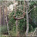NJ0263 : Scots pine in Culbin Forest by valenta