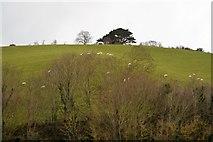 SX9575 : Sheep on hillside by N Chadwick