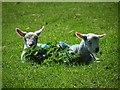 SE5912 : Spring lambs at Trumfleet : Week 17