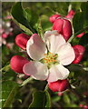 SX9066 : Apple blossom, Nightingale Park by Derek Harper
