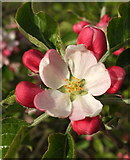 SX9066 : Apple blossom, Nightingale Park by Derek Harper