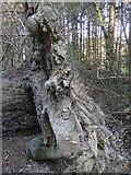 SN6672 : Root system of fallen tree, Coed Alltfedw by Rudi Winter