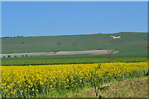SU1062 : Oilseed rape field overlooked by the Alton Barnes white horse by David Martin