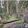 SN6672 : Fallen tree, Gelli Ddu/Black Covert by Rudi Winter