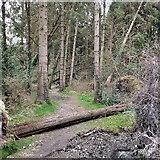 SN6672 : Fallen tree, Gelli Ddu/Black Covert by Rudi Winter