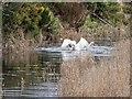 NJ3464 : Mute Swans by valenta