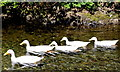 "NY2232 : The ""muckless"" ducks of Bassenthwaite by Des Colhoun"