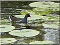 SD3078 : Moorhen amongst the lily pads by Oliver Dixon