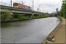 SJ8196 : Tram and gosling by the Bridgewater canal by Philip Jeffrey