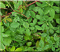 SX9066 : Raindrops on leaves, Nightingale Park by Derek Harper