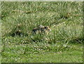 NR1652 : Brown hare in green grass by M J Richardson