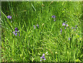 SY0099 : Bluebells, Ashclyst Forest by Derek Harper