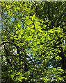 SX9999 : Sweet chestnut leaves, Ashclyst Forest by Derek Harper