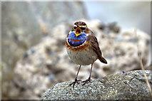 HP6514 : Male Bluethroat (Luscinia svecica), Norwick by Mike Pennington