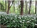 SE8165 : A  carpet  of  wild  garlic  in  the  plantation by Martin Dawes