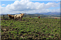 NH5238 : Highland Cattle in Pasture above Ruifour by Chris Heaton