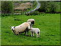 H5375 : Ewe and lamb, Drumnakilly by Kenneth  Allen