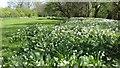 NY3139 : Wild garlic by Colin Kinnear
