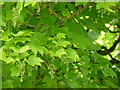 SK2071 : Acer Pseudoplatanus by Bob Harvey