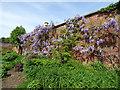 SJ7481 : Tatton Park gardens - wisteria by Stephen Craven