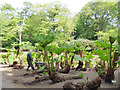 SJ7481 : Tatton Park gardens - transplanting gunnera (1 of 3) by Stephen Craven