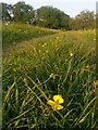 SZ0399 : Canford Magna: a buttercup on the riverside path by Chris Downer